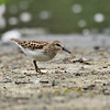 A Least Sandpiper with a food source in its bill