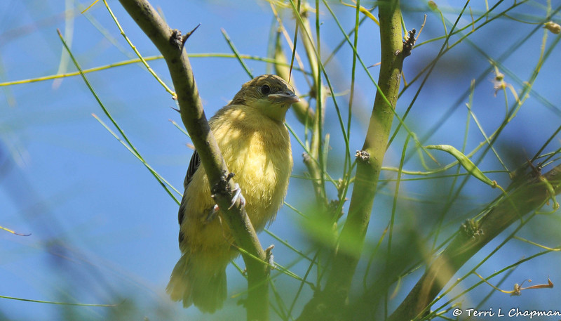 A fledgling Hooded Oriole in the process of learning to fly. Its parents were in the next tree, calling to their youngster, and encouraging it to fly. I was so lucky to get a few pictures before the fledgling flew to its parents.