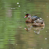 A male (late summer plummage) and female Wood Duck
