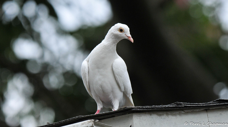 A lone white dove, probably released at a wedding or funeral, visited my yard on Labor Day and happily ate the safflower seeds I had scattered on the ground for the Mourning Doves.