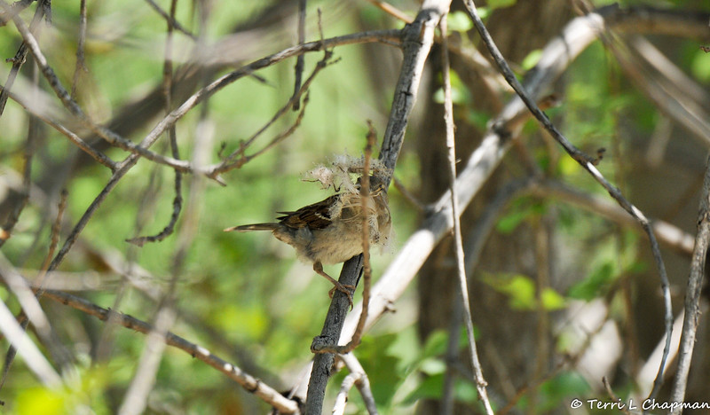 A female Old World Sparrow gathering nesting material. One of her items is a feather.