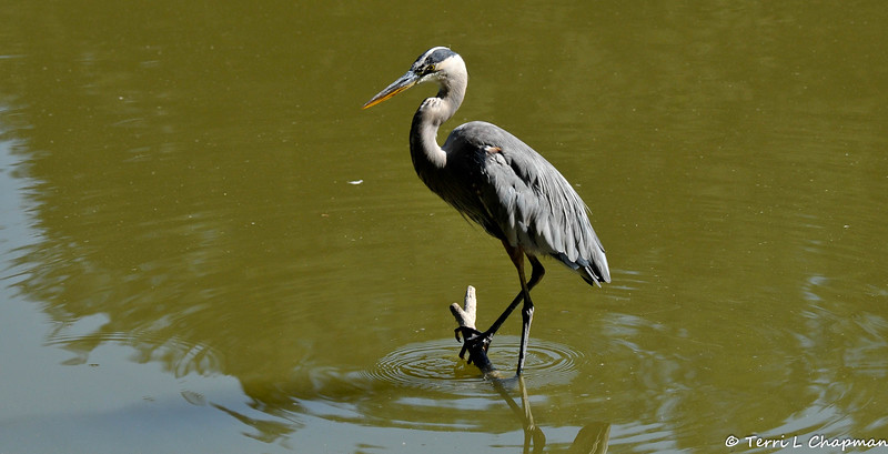 A Great Blue Heron patiently waiting for a fish to swim by