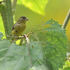 A female Lesser Goldfinch pausing from eating the leaf of a sunflower