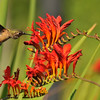 An Allen's Hummingbird sipping nectar from a Crocosmia flower