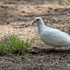 A lone white dove, probably released at a wedding or funeral, made a landing in my yard on Labor Day and happily ate the safflower seeds I had scattered on the ground for the Mourning Doves.