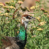An Indian Peahen in a field of wildflowers