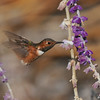 A male Allen's Hummingbird sipping nectar from a Mexican Bush Sage bloom