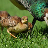 Three Indian Peachicks with their mother