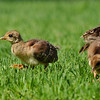 Indian Peachicks