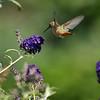 An Allen's Hummingbird with a Butterfly Bush