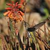 An Anna's Hummingbird sipping nectar from a succulent flower