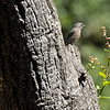 A juvenile Western Bluebird, using a stump jetting out from a tree trunk, to survey the area underneath for insects
