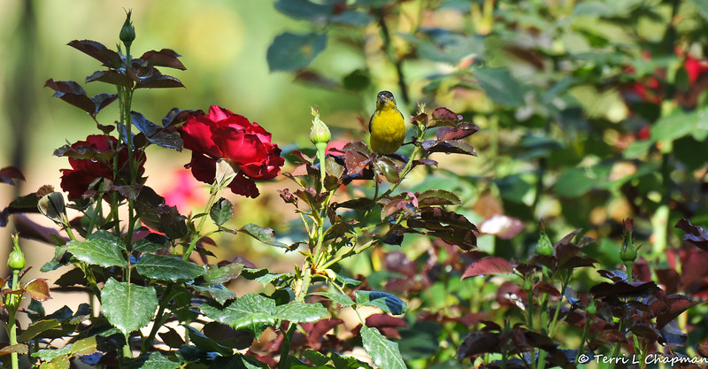 A male Lesser Goldfinch drinking from water droplets on a rose bush