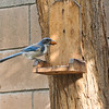 A Scrub Jay stealing almonds from the squirrel platform feeder