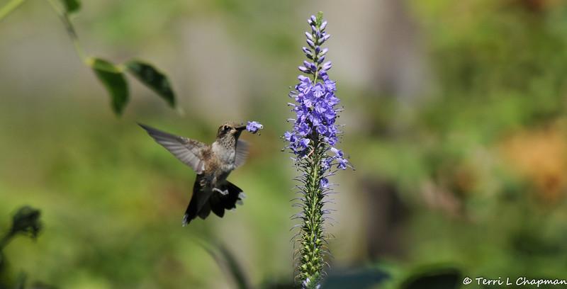 A female Allen's Hummingbird with flowers stuck on her bill