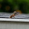 A fledgling Allen's Hummingbird practicing his flying techniques on my roof top