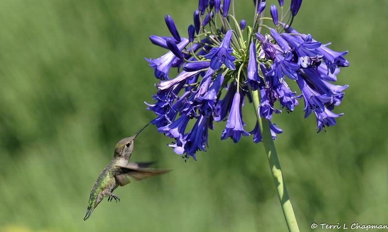 An Anna's Hummingbird with an Agapanthus flower