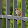 A flegling California Towhee perched on a wooden fence. Its parents were  searching for food on the ground.