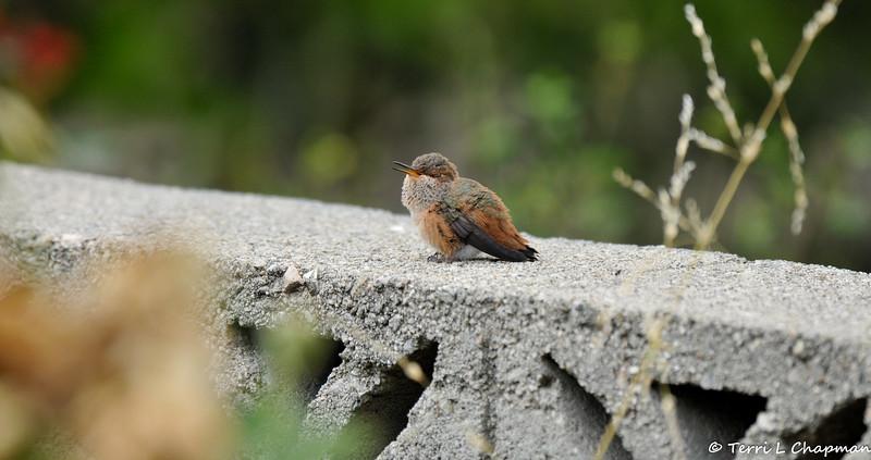 A fledgling Allen's Hummingbird calling for its mother