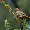 A California Towhee eating a berry from a Nevin's Barberry bush