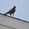 A juvenile Cooper's Hawk on my neighbor's roof at dusk. There were two juveniles together, hunting as a team, so they were most likely siblings.