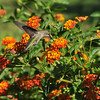 A female Anna's Hummingbird sipping nectar from Lantana