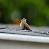 A fledgling Allen's Hummingbird waiting for its mother on my roof