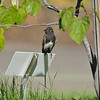 A fledgling Black Phoebe, perched on a tree ID sign, watching out for flying insects to come near