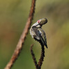 A male Anna's Hummingbird grooming his feathers