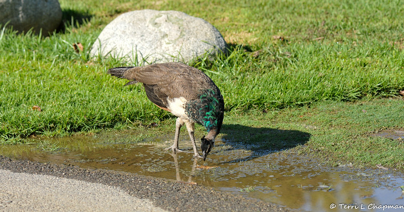 A female Indian Peahen sipping water from a puddle created from the sprinklers