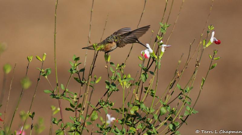 A female Allen's Hummingbird sipping nectar from a Salvia flower
