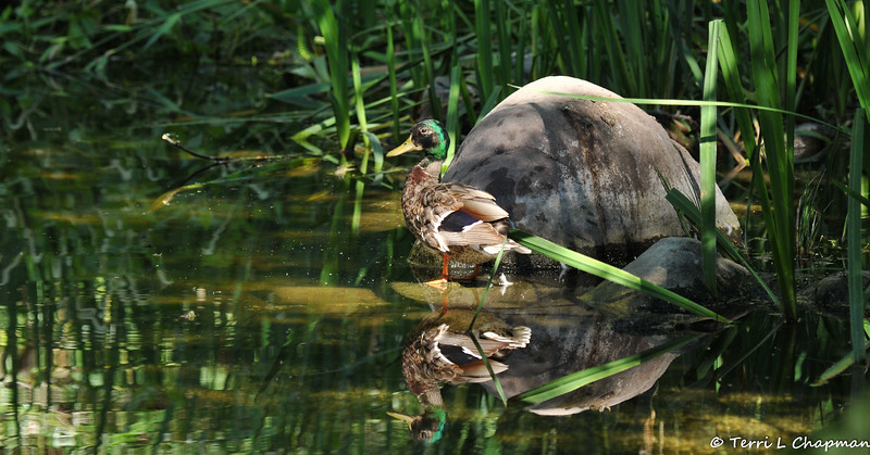 A young male Mallard Duck cooling off in a pond on a hot summer day