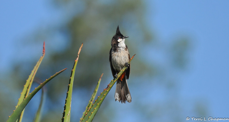 A Red-whiskered Bulbul perched on an Aloe