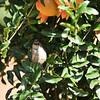 A male Bushtit perched in a Pomegranate tree