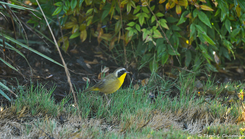 A Common Yellow-throat searching for insects on the ground
