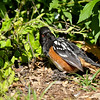 A male Spotted Towhee sunning himself