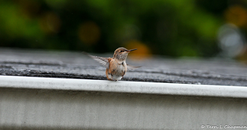 A fledgling Allen's Hummingbird flying from my roof top to the edge of the gutter