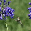 An Anna's Hummingbird with Agapanthus flowers