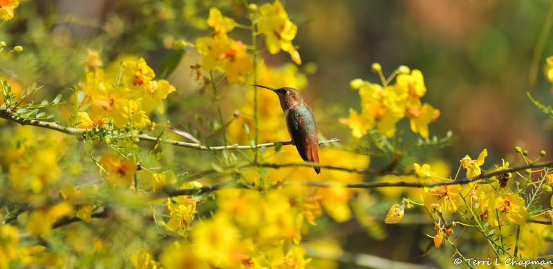 A male Allen's Hummingbird perched in a blooming Palo Verde tree