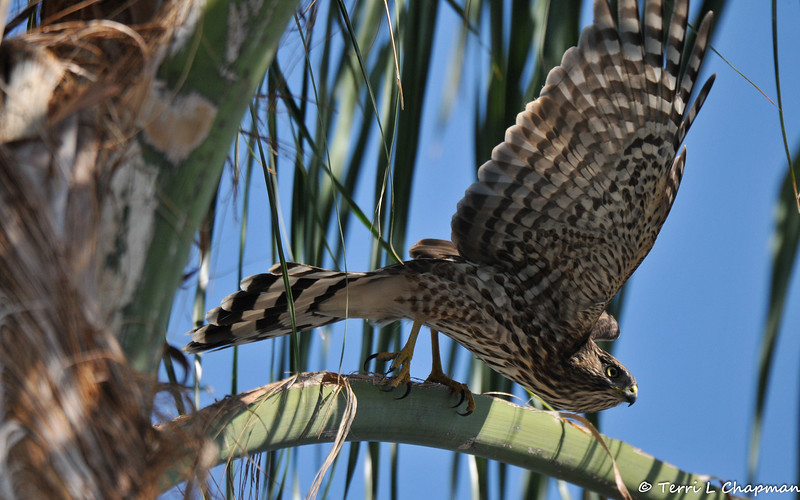 A juvenile Cooper's Hawk preparing to take flight from my neighbor's Palm tree