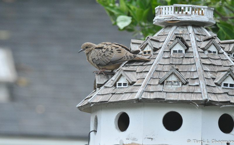A Mourning Dove perched on the roof of my bird house