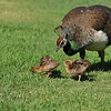 Four Indian Peachicks with their mother