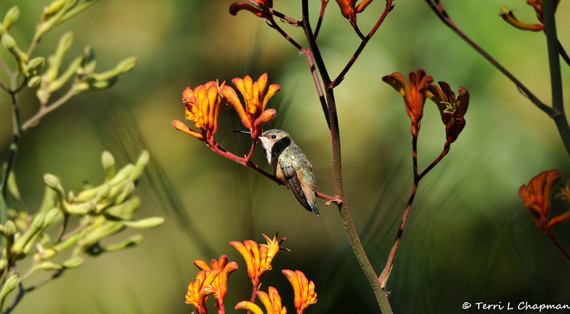 A male Allen's Hummingbird resting on the stem of a blooming Kangaroo Paw plant.