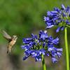 An Allen's Hummingbird sipping nectar from an Agapanthus flower