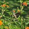 A female Anna's Hummingbird with Lantana