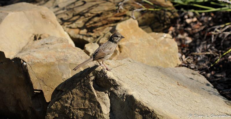 A juvenile Song Sparrow
