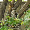 It was a 104 degree day and this juvenile Cooper's Hawk was perched in my Japanese Maple Tree. Several Fox Squirrels were running up and down the tree and the hawk was curious, but appeared nervous when the squirrels came too near. It was so hot, the hawk let me get very close to photograph it.