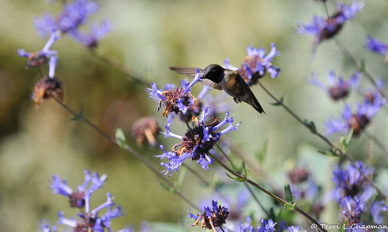 A male Black-chinned Hummingbird sipping nectar from blooming Sage. This species of hummingbird is a summer visitor to my area.