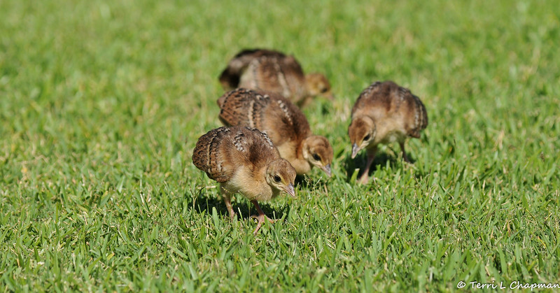 Four Indian Peachicks searching for food