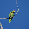 A wild Red-crowned Parrot